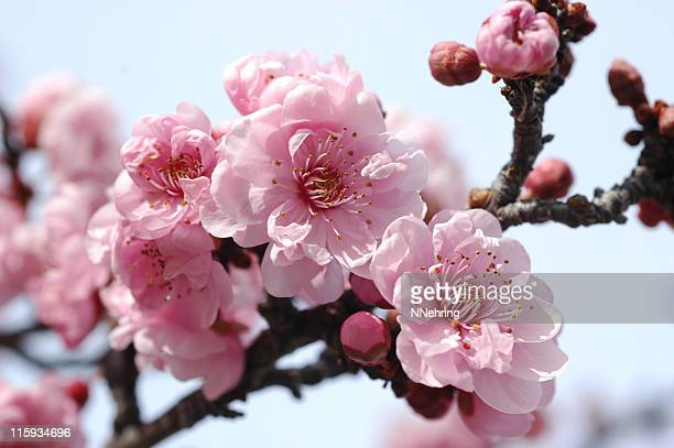 Plum Blossom Stock Photos And Pictures Getty Images