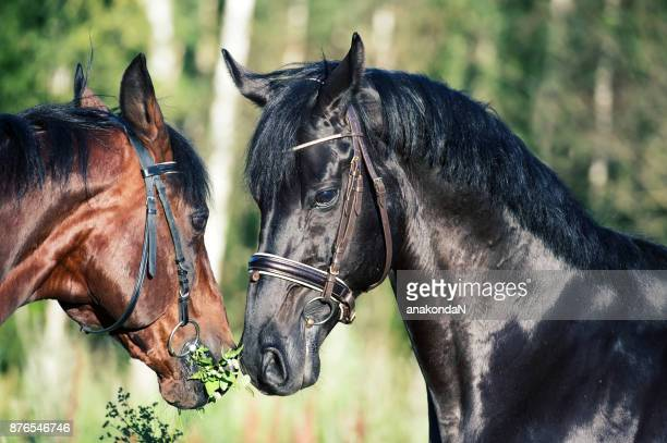 double portrait of  breed stallions. close up - dressage horse russia stock photos and pictures