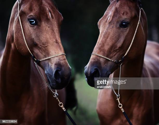 double portrait of purebred akhalteke mare at evening