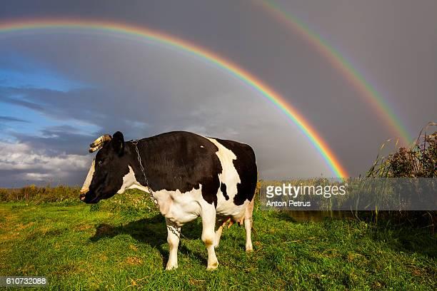 Double rainbow over the cow