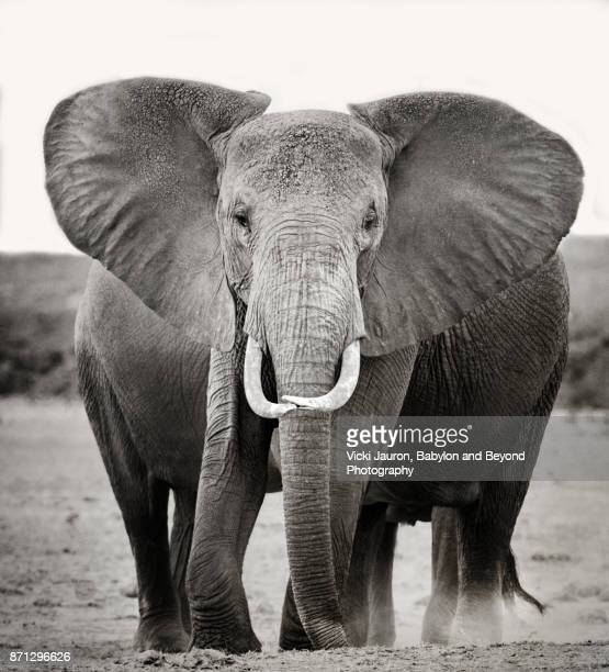 double wide elephant in amboseli, kenya - african elephant stock photos and pictures