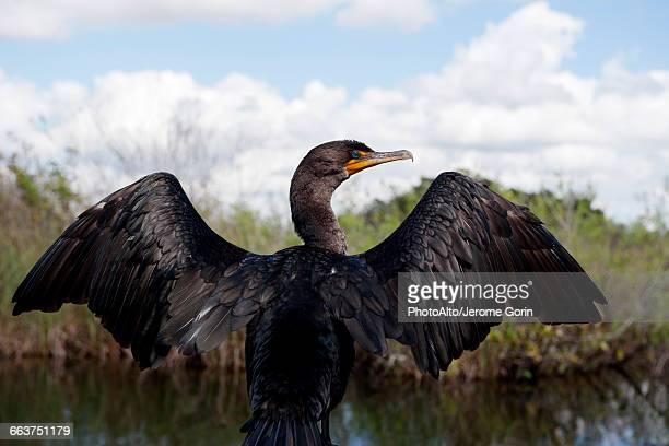 double-crested cormorant (phalacrocorax auritus), everglades national park, florida, usa - gliedmaßen körperteile stock-fotos und bilder