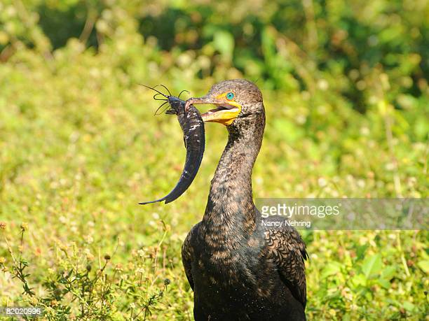 double-crested cormorant, phalacrocorax auritus, with freshly caught walking catfish, clarias batrachus, for lunch. everglades national park, florida, usa. unesco world heritage site (biosphere reserve). - nancy hunt stock pictures, royalty-free photos & images