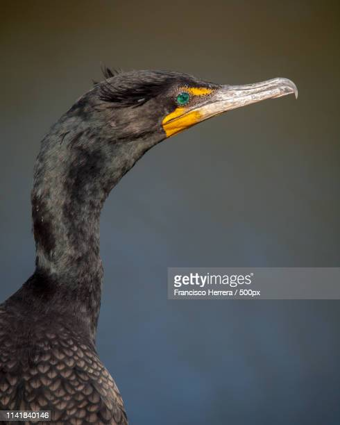 double-crested cormorant - anhinga_trail photos et images de collection