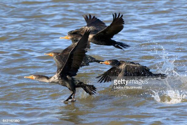 double-crested cormorants, phalacrocorax auritus, in flight - brunswick georgia stock pictures, royalty-free photos & images