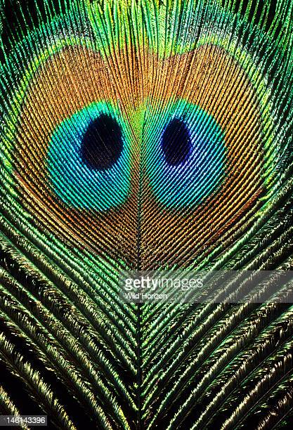 Doubleeyed peacock feather a rare mutation Pavo species Photographed in Arizona Photographed under controlled conditions
