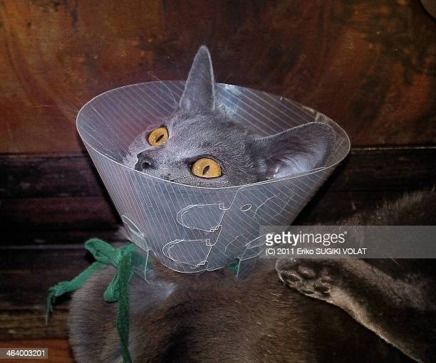 douce is in patient - elizabethan collar stock photos and pictures