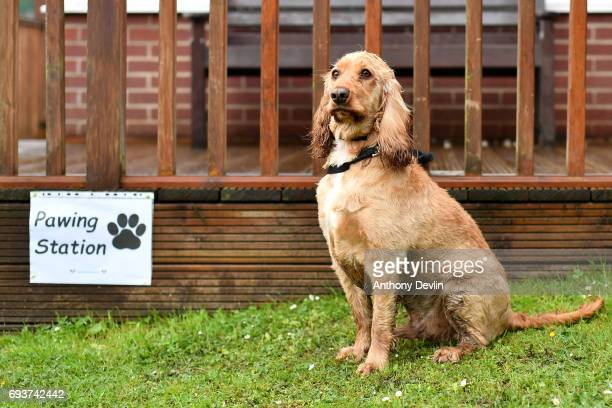 Dougie the Cocker Spaniel sits beside a sign reading 'Pawing Station' outside a polling station on June 8, 2017 in Stalybridge, Greater Manchester,...