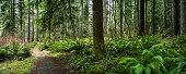Douglas Fir Forest with Fern