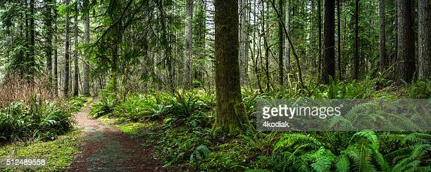 douglas fir forest with fern - bush stock pictures, royalty-free photos & images