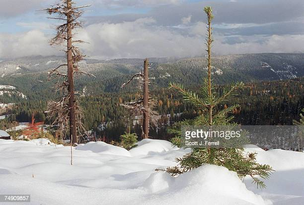 Douglas fir sapling standing about 21/2 feet tall pokes up through the snow on a hillside cleared of its timber along Road 3511 in Mt Hood National...