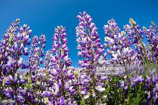 douglas' lupine field (lupinus nanus) - nature stockfoto's en -beelden