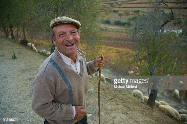A shepherd and his sheep in a vineyard in the fall.