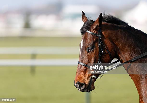 Douvan on the gallops at Cheltenham racecourse on March 13 2016 in Cheltenham England