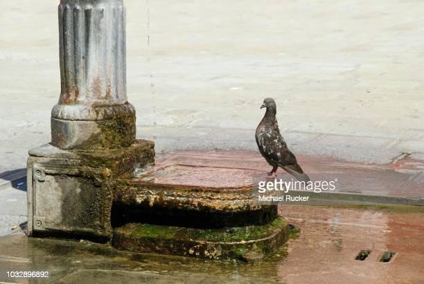 Dove at a fountain in Burano, Venice, Italy