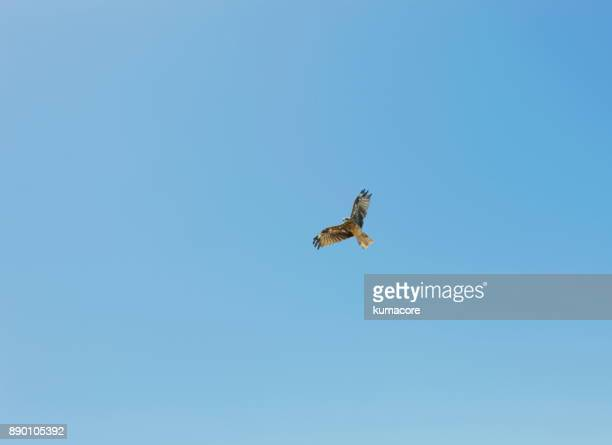 Dove flapping