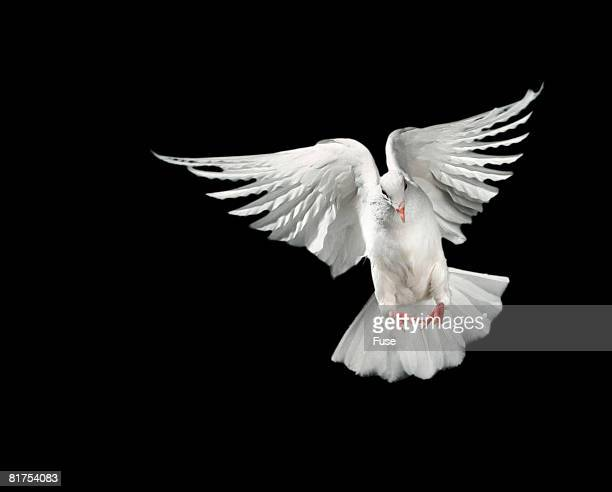 Dove Flapping Wings
