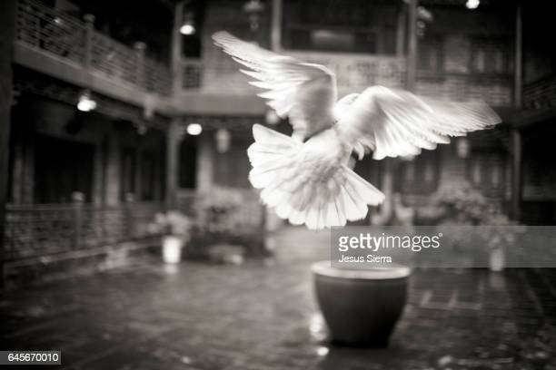 Dove flying in Fenghuang, Hunan Province, China, Asia