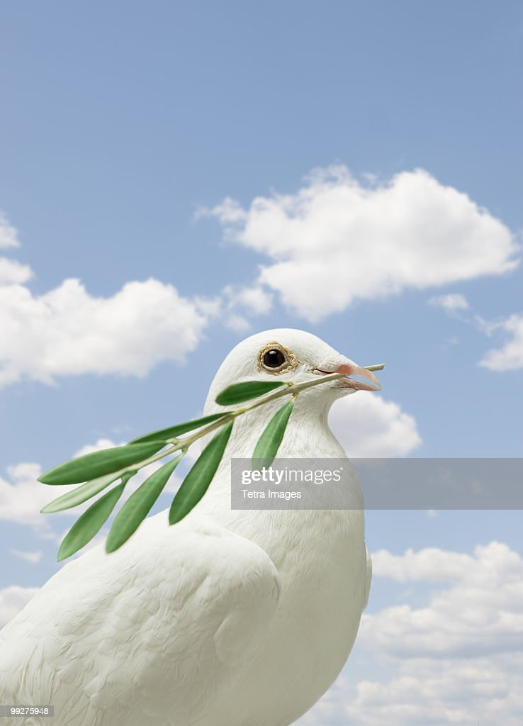 dove holding olive branch stock photo