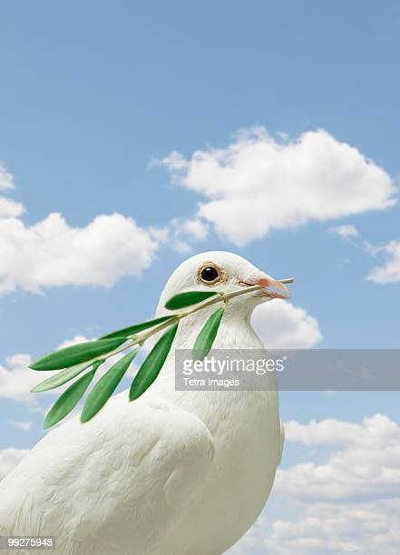 Dove holding olive branch
