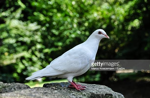 dove perching on rock - perching stock photos and pictures