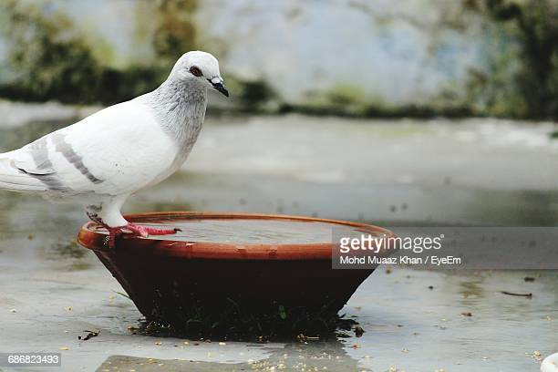 Dove Perching On Water Bowl