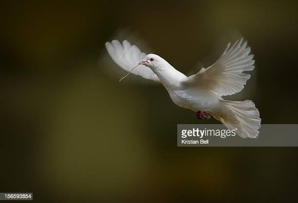 dove - dove bird stock pictures, royalty-free photos & images