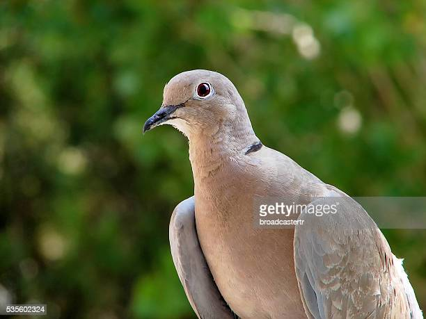 dove - turtle doves stock photos and pictures