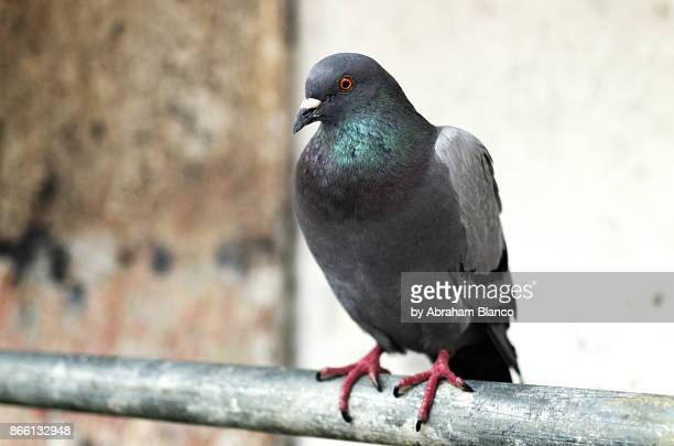 dove - pigeon stock pictures, royalty-free photos & images