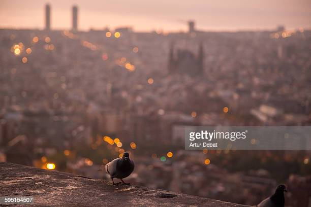 Dove wit the Barcelona cityscape on sunrise.
