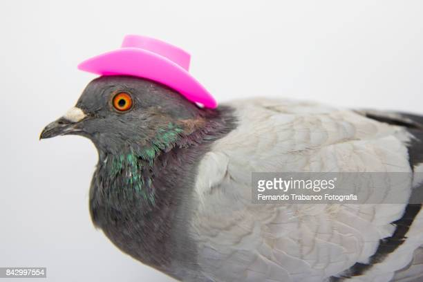 dove with a elegant pink hat - pigeon stock pictures, royalty-free photos & images
