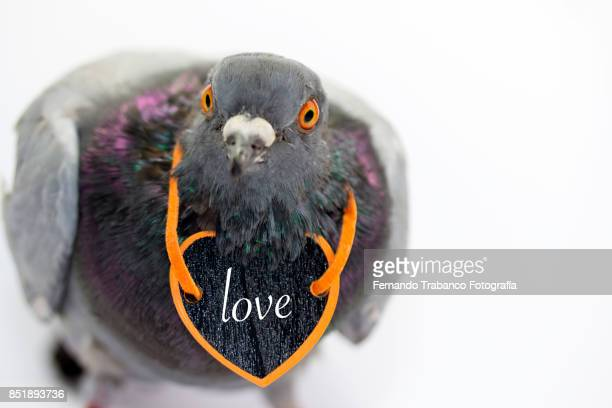 dove with a loving heart
