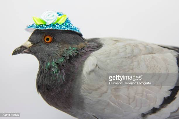 Dove with blue hat