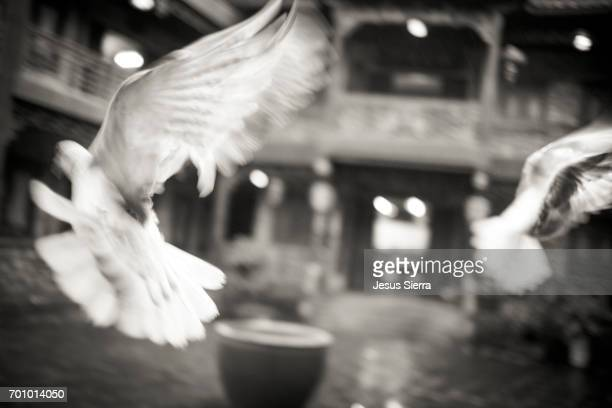 Doves flying in Fenghuang, Hunan Province, China, Asia