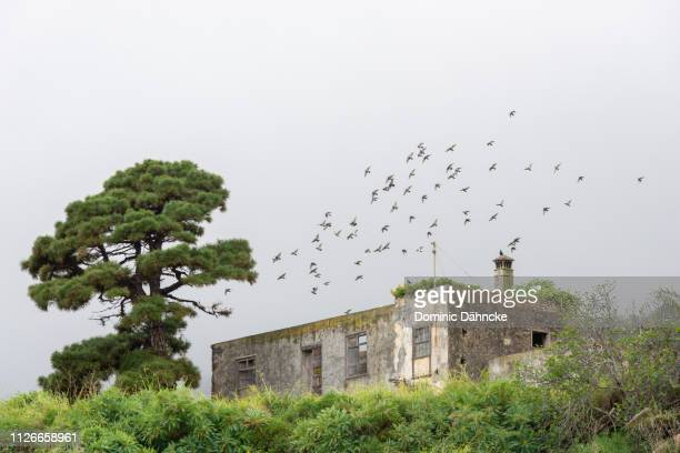 Doves flying over abandoned house in Breña Alta town, La Palma island (Canary Islands, Spain)