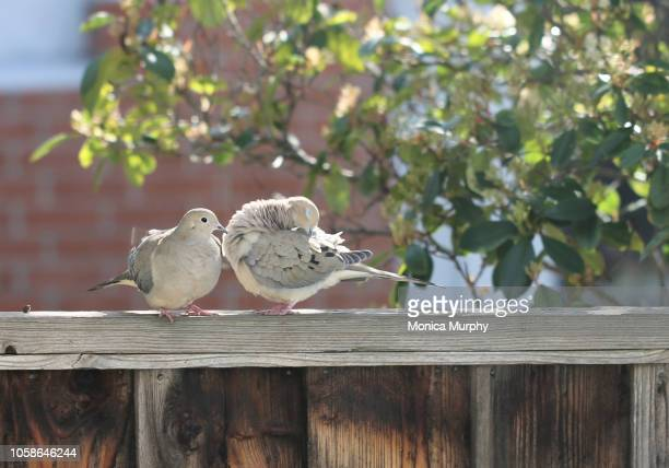 doves in love - colombe photos et images de collection