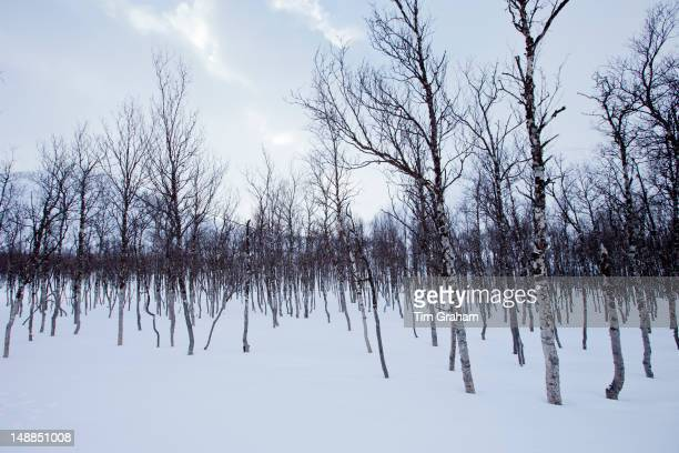 Downy Birch trees Betula pubescens in wilderness in Ovre Dividal National Park in the Arctic Circle region of Tromso Northern Norway