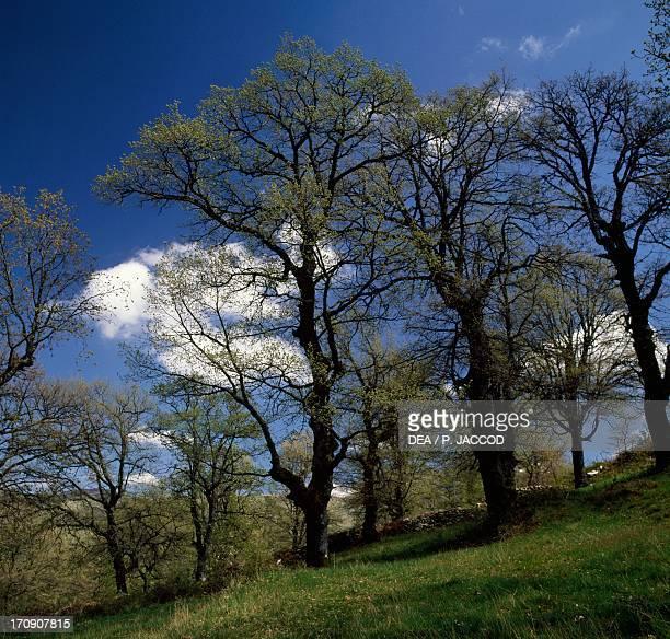 Downy Oak near Fonni National Park of the Bay of Orosei and Gennargentu Sardinia Italy