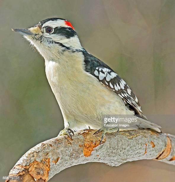Downy Woodpecker Male on Tree Branch