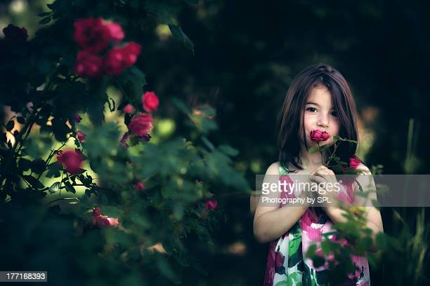 a dozen bulgarian roses - sofia rose stock photos and pictures