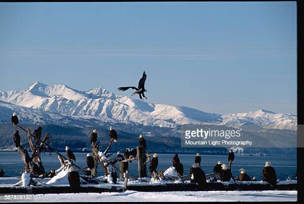 Dozens of bald eagles fly around and stand in the snow near a bay or fjord in Homer Alaska