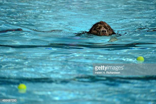 Dozens of dogs enjoy the cool water and fetching tennis balls during Dog Dayz at Scott Carpenter Park Pool in Boulder CO on September 15 2014 The...
