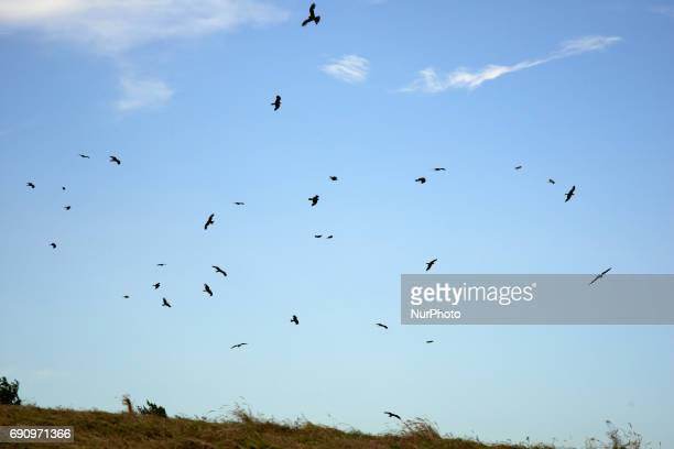 Dozens of red kites prey on locusts in a hay field as a farmer cuts hay near Lannemezan in the French department of the HautesPyrénées on 26 May 2017...