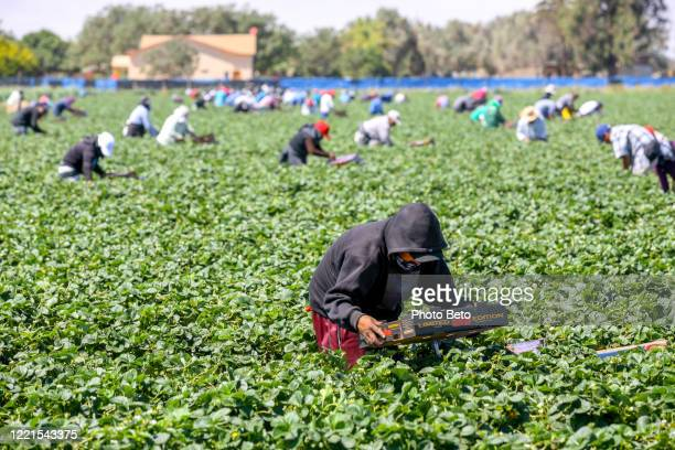 dozens of seasonal farmers work hard in a strawberry field in mexico - migrant_worker stock pictures, royalty-free photos & images