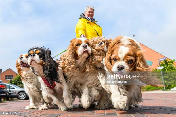 dpatop 02 May 2019 Lower Saxony Greetsiel Petra Florian from Gelsenkirchen walks during her vacation with her five dogs of the breed Cavalier King...