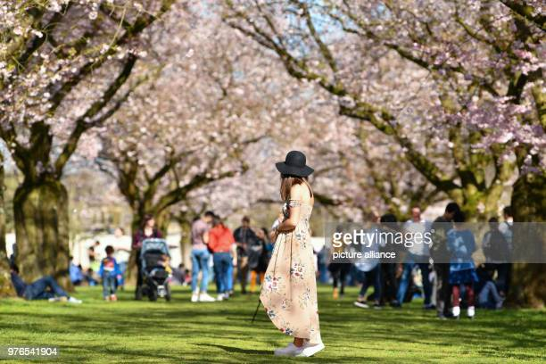 dpatop 07 April Schwetzingen Germany A visitor stands in the castle garden under a flowering Japanese cherry tree The administration expects more...