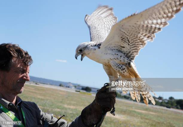 Pep Salom falconer of the airport Palma de Mallorca holds a falcon next to a runway Falcons are used at the airport to avert birds and thus reduce...