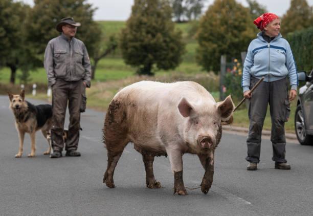 "DEU: Pig ""Berta"" On Sunday Walk"