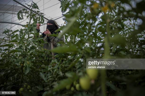 dpatop A picture provided on 30 May 2018 shows Yemeni farmer Ahlam AlAlaya checking for insects on organic tomato plant leaves in her greenhouse...
