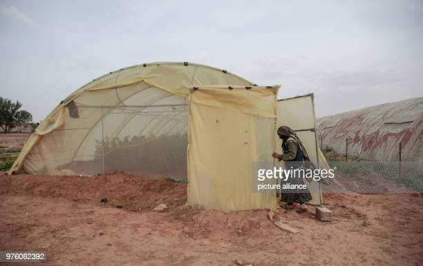 dpatop A picture provided on 30 May 2018 shows Yemeni farmer Ahlam AlAlaya interring the greenhouse to check for insects on organic tomato plant...
